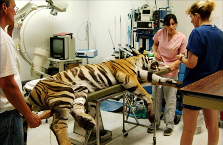 Dr. Conrad and team with a tiger patient